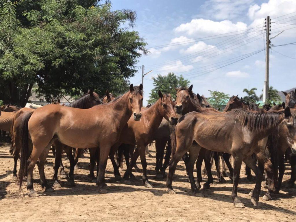 สมาคมม้า ฉีดวัคซีนม้า